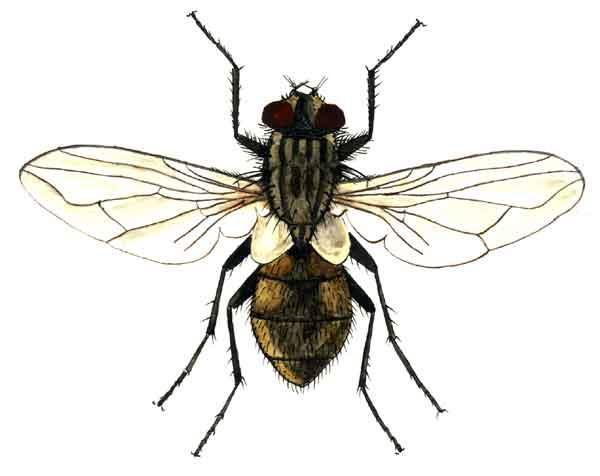 Борьба с мухами, уничтожение мух. Как избавиться и вывести мух