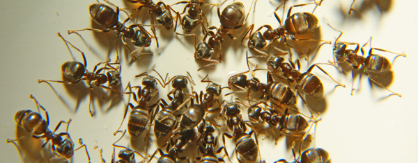 уничтожение рыжих домашних муравьев в СПб