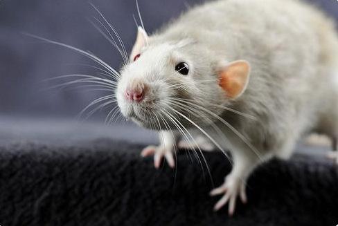 дератизация в Петербурге, уничтожение крыс и мышей